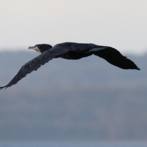 Phalacrocorax carbo at Batemans Marine Park - 5 Jun 2020