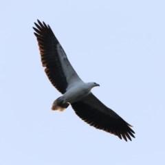 Haliaeetus leucogaster (White-bellied Sea-eagle) at Batemans Marine Park - 4 Jun 2020 by jbromilow50