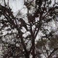 Calyptorhynchus lathami (Glossy Black-Cockatoo) at Mount Ainslie - 1 Jun 2020 by Ral