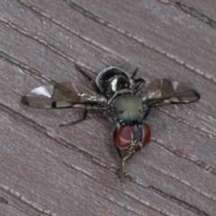Pogonortalis doclea (Signal fly) at Lilli Pilli, NSW - 5 Jun 2020 by jbromilow50