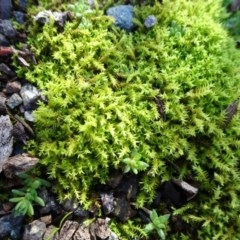 Triquetrella (A trailing moss) at Majura, ACT - 5 Jun 2020 by JanetRussell