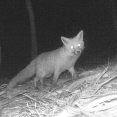 Vulpes vulpes (Red Fox) at Paddys River, ACT - 5 Jun 2020 by ChrisHolder