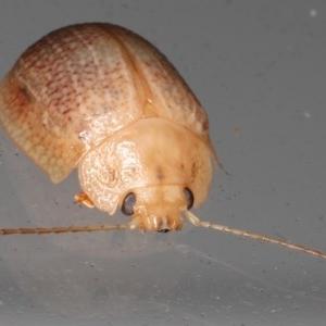 Paropsis sp. (Genus) at Lilli Pilli, NSW - 6 Jun 2020