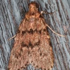 Mimaglossa nauplialis (Mimaglossa nauplialis) at Lilli Pilli, NSW - 5 Jun 2020 by jbromilow50