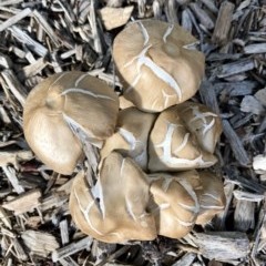 Agrocybe praecox group at Giralang, ACT - 13 Apr 2020 by Denise