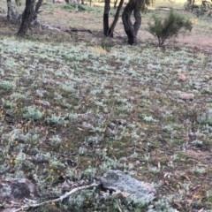 Chrysocephalum apiculatum (Common Everlasting) at Isaacs Ridge and Nearby - 6 Jun 2020 by Nat