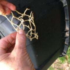 Ileodictyon gracile (Smooth Cage) at Batemans Marine Park - 1 Jun 2020 by Davidwylie
