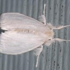 Euproctis sp. (TBC) at Lilli Pilli, NSW - 5 Jun 2020 by jbromilow50