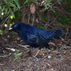 Ptilonorhynchus violaceus (Satin Bowerbird) at Curtin, ACT - 5 May 2020 by Row_g