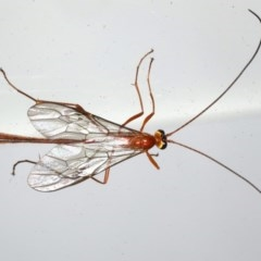 Dicamptus fuscicornis (Ophion Parasitic Wasp) at Lilli Pilli, NSW - 6 Jun 2020 by jbromilow50