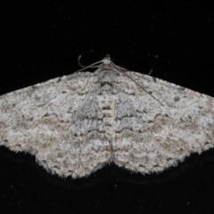 Psilosticha absorpta (Looper moth) at Lilli Pilli, NSW - 6 Jun 2020 by jbromilow50