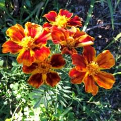 Tagetes erecta (Mexican Marigold) at Hughes, ACT - 6 Jun 2020 by ruthkerruish