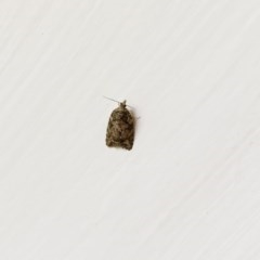 Tortricinae sp. (subfamily) (A tortrix moth) at Hughes Garran Woodland - 6 Jun 2020 by ruthkerruish