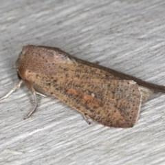 Mythimna (Pseudaletia) convecta (Common Armyworm) at Lilli Pilli, NSW - 6 Jun 2020 by jbromilow50