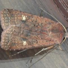 Diarsia intermixta (Chrevron Cutworm) at Lilli Pilli, NSW - 6 Jun 2020 by jbromilow50