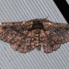 Pholodes sinistraria (Frilled Bark Moth) at Lilli Pilli, NSW - 6 Jun 2020 by jbromilow50