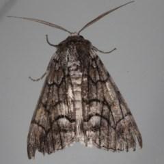 Stibaroma sp. (Stibaroma sp.) at Lilli Pilli, NSW - 6 Jun 2020 by jbromilow50