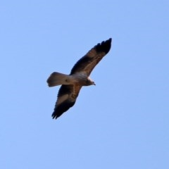 Haliastur sphenurus (Whistling Kite) at Jerrabomberra Wetlands - 4 Jun 2020 by RodDeb