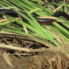 Pseudechis porphyriacus (Red-bellied Black Snake) at Yarrow, NSW - 10 Jan 2019 by tom.tomward@gmail.com
