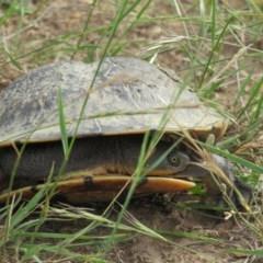 Chelodina longicollis (Eastern Long-neck Turtle) at Yarrow, NSW - 10 Jan 2019 by tom.tomward@gmail.com