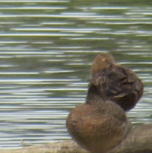 Stictonetta naevosa at Jerrabomberra Wetlands - 5 Feb 2020