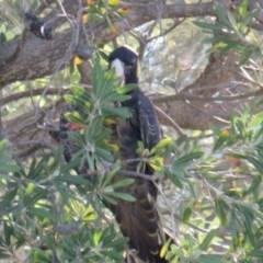 Zanda funereus (Yellow-tailed Black-Cockatoo) at Curtin, ACT - 3 Feb 2019 by tom.tomward@gmail.com