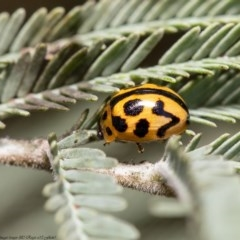 Peltoschema oceanica (Oceanica leaf beetle) at Umbagong District Park - 6 Jun 2020 by Roger