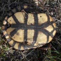 Chelodina longicollis (Eastern Long-neck Turtle) at Mount Ainslie - 6 Jun 2020 by SilkeSma