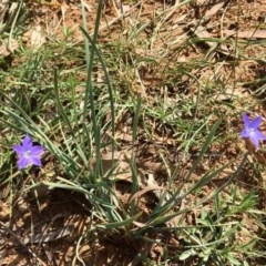 Wahlenbergia sp. (Bluebell) at Yarralumla, ACT - 22 Apr 2020 by HiHoSilver