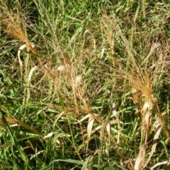 Panicum capillare or P. hillmanii (An exotic invasive panic grass) at Molonglo Valley, ACT - 3 Jun 2020 by MichaelMulvaney