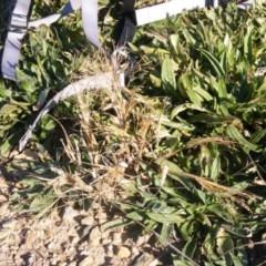 Panicum capillare or P. hillmanii (An exotic invasive panic grass) at Moncrieff, ACT - 4 Jun 2020 by MichaelMulvaney