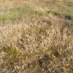 Panicum capillare or P. hillmanii (An exotic invasive panic grass) at Curtin, ACT - 5 Jun 2020 by MichaelMulvaney