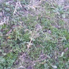Panicum capillare or P. hillmanii (An exotic invasive panic grass) at Yarralumla, ACT - 5 Jun 2020 by MichaelMulvaney