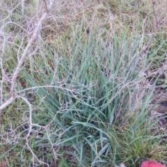 Dianella longifolia var. longifolia (Pale Flax Lily, Blue Flax Lily) at Deakin, ACT - 5 Jun 2020 by MichaelMulvaney