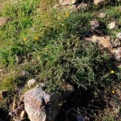 Eschscholzia californica (California Poppy) at Ginninderry Conservation Corridor - 8 Jun 2020 by Kurt