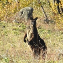 Macropus robustus (Wallaroo) at Bullen Range - 8 Jun 2020 by HelenCross