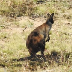 Macropus rufogriseus (Red-necked Wallaby) at Bullen Range - 8 Jun 2020 by HelenCross