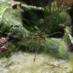 Palaemon serenus (Rock-pool Prawn) at Batemans Marine Park - 6 Jun 2020 by melanoxylon