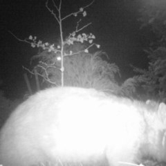 Vombatus ursinus (Wombat) at Karabar, NSW - 11 May 2020 by LyndalT