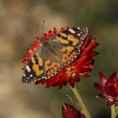 Vanessa kershawi (Australian Painted Lady) at ANBG - 28 May 2020 by AlisonMilton