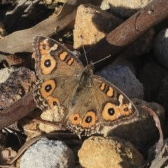 Junonia villida (Meadow Argus) at ANBG - 28 May 2020 by AlisonMilton