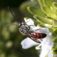 Lasioglossum (Parasphecodes) sp. (genus & subgenus) (Halictid bee) at Higgins, ACT - 31 May 2020 by AlisonMilton