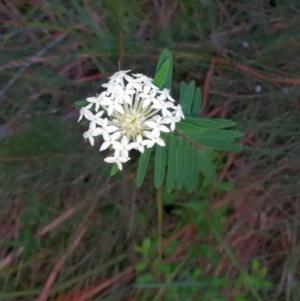 Pimelea linifolia (TBC) at suppressed by jenqld