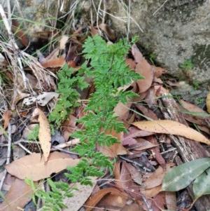 Cheilanthes sieberi (Rock fern) at Tuchekoi National Park by jenqld