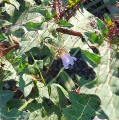 Solanum pungetium (Eastern Nightshade) at Cobargo, NSW - 8 Jun 2020 by JoyGeorgeson