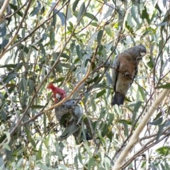 Callocephalon fimbriatum (Gang-gang Cockatoo) at Penrose - 8 Jun 2020 by Aussiegall