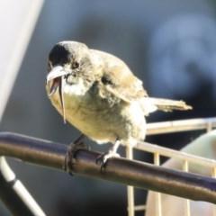Cracticus torquatus (Grey Butcherbird) at Higgins, ACT - 17 Apr 2020 by Alison Milton