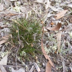 Laxmannia gracilis (Slender wire lily) at Lake Ginninderra - 10 Jun 2020 by MichaelMulvaney