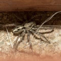 Artoriopsis sp. (genus) (Unidentified Artoriopsis wolf spider) at Higgins, ACT - 2 Mar 2020 by AlisonMilton