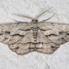 Ectropis (genus) (An engrailed moth) at Ainslie, ACT - 18 Mar 2020 by jbromilow50